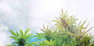 Ventajas y Desventajas del Cultivo de Marihuana al aire libre y en interior