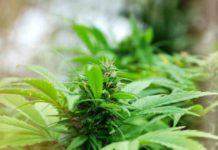Cuando se Consume Marihuana Aumentan las Ganas de Comer