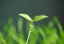 Guía para Germinar las Semillas de Marihuana