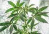 ¿Cómo Afecta la Iluminación en el Cultivo de Plantas de Marihuana?