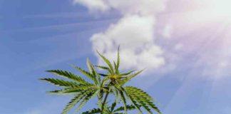¿Cuánta Luz Necesitan las Plantas de Marihuana al Aire Libre?