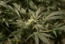 Sepamos Como las Plantas de Marihuana Convierten la Luz en Energía