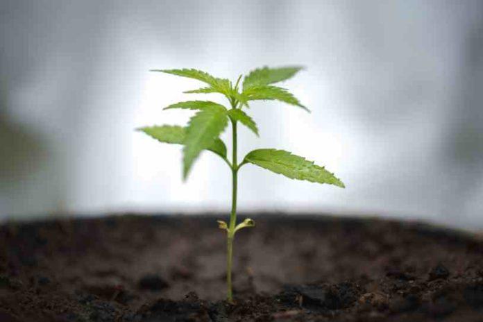 ¿Qué es la Ósmosis en la planta de marihuana?
