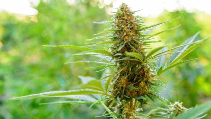 Cómo Funciona una Planta de Marihuana - ¿Qué es una planta de marihuana?