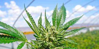 ¿Cómo Podemos Cultivar Plantas de Marihuana Fuertes y Resistentes?