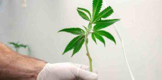 ¿Cómo Funciona el Sistema de Raíces de la Planta de Marihuana?