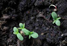 Sustrato para el Cultivo de las Plantas de Marihuana