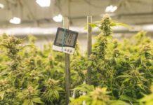 Temperatura en el Cultivo de Interior - Temperatura en el Cultivo de Exterior