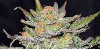 Semilla de Marihuana Auto Blue Ace CBD del banco Delicious Seeds
