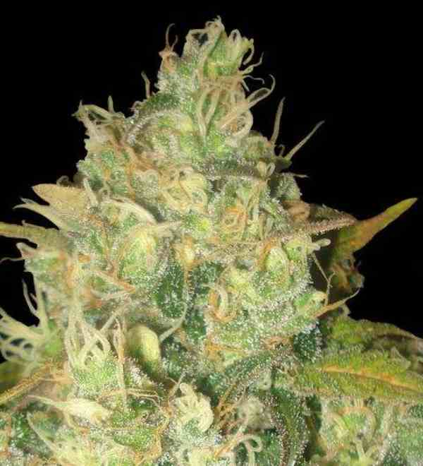 Semilla de Marihuana Black Russian del banco Delicious Seeds