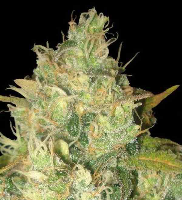 Semilla de Marihuana Black Russian del banco Delicious Seeds