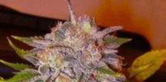 Semilla de Marihuana Caramelo del banco Delicious Seeds