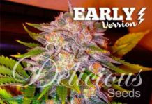 Semilla de Marihuana Caramelo Early Version del banco Delicious Seeds