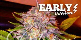 Semilla de Marihuana Caramelo Early Version del banco Delicious Seeds