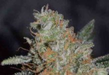 Semilla de Marihuana CBD Jam del banco Delicious Seeds