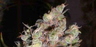 Semilla de Marihuana Cotton Candy del banco Delicious Seeds