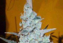 Semilla de Marihuana Critical Jack Herer Auto del banco Delicious Seeds