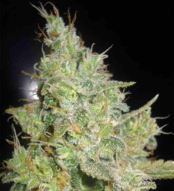 Semilla de Marihuana Critical Kali Mist del banco Delicious Seeds
