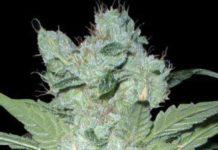 https://www.semillasdemarihuana.info/semilla-marihuana-critical-neville-haze-2-0-banco-delicious-seeds/