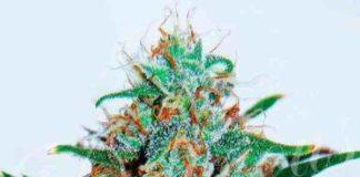 Semilla de Marihuana Critical Neville Haze Auto del banco Delicious Seeds