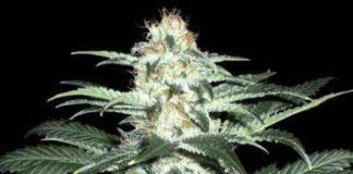 Semilla de Marihuana Critical Sensi Star del banco Delicious Seeds