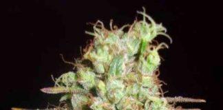 Semilla de Marihuana Critical Super Silver Haze del banco Delicious Seeds