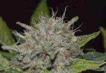 Semilla de Marihuana Deep Mandarine CBD del banco Delicious Seeds