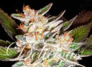 Semilla de Marihuana Delicious Candy Auto del banco Delicious Seeds
