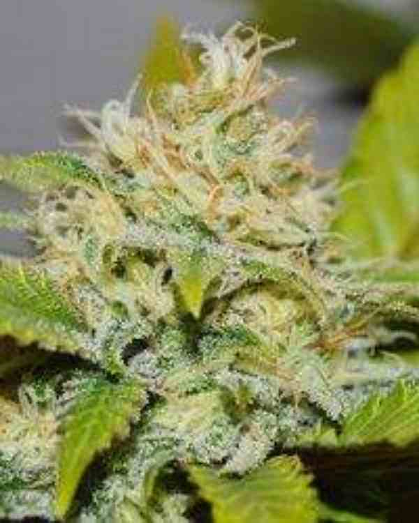 Semilla de Marihuana Delicious Candy del banco Delicious Seeds