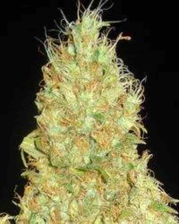 Semilla de Marihuana Fruity Chronic Juice del banco Delicious Seeds