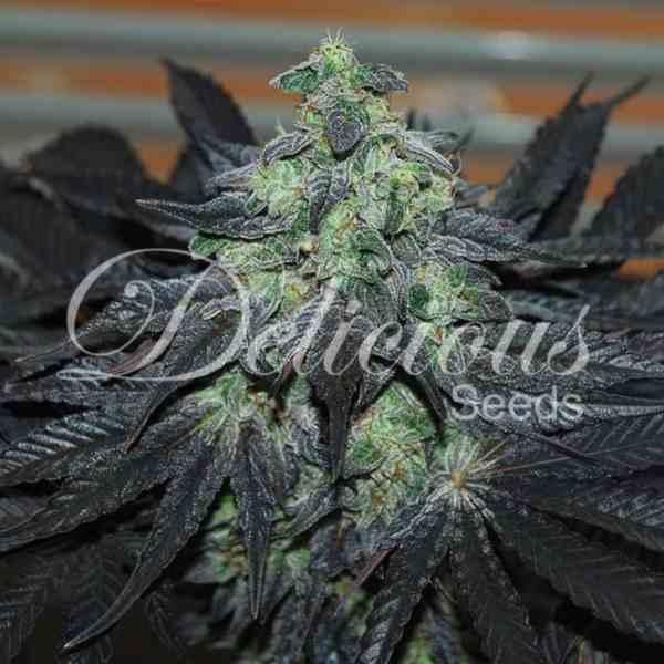 Semilla de Marihuana Golosa del banco Delicious Seeds