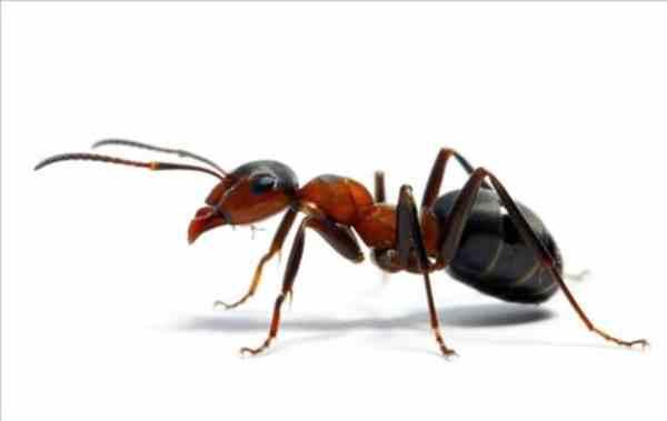 ¿Son Buenas o Malas las Hormigas en Nuestro Cultivo de Marihuana?