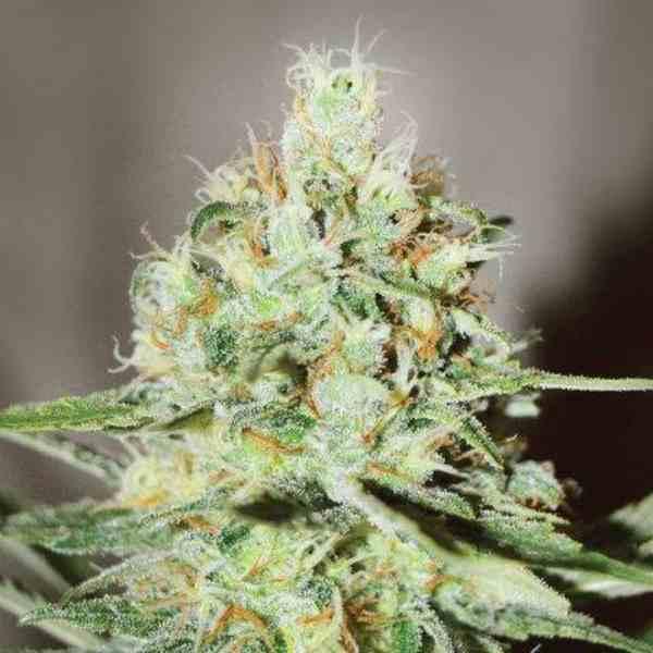 Semilla de Marihuana Jägg Kush del banco Delicious Seeds