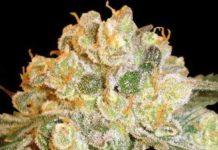Semilla de Marihuana Marmalate del banco Delicious Seeds