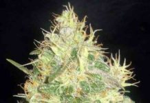 Semilla de Marihuana Northern Light Blue del banco Delicious Seeds