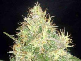 Semilla de Marihuana Northern Light Blue del banco Delicious Seeds