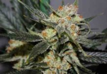 Semilla de Marihuana Strawberry Shortcake del banco Dark Horse Genetics