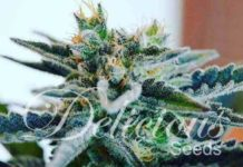 Semilla de Marihuana Sugar Black Rose del banco Delicious Seeds