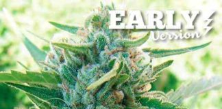 Semilla de Marihuana Sugar Black Rose Early Version del banco Delicious Seeds