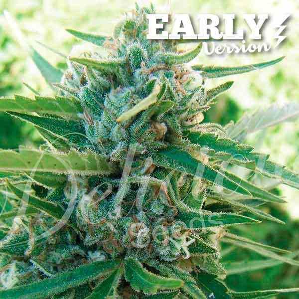Semilla de Marihuana Sugar Black Rose Early Version del banco Delicious Seeds