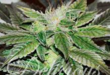 Semilla de Marihuana Sugar Candy del banco Delicious Seeds