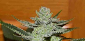Semilla de Marihuana Unknown Kush del banco Delicious Seeds
