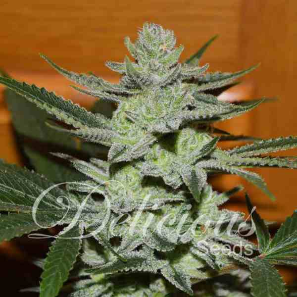 Semilla de Marihuana Unknown Kush del banco Delicious Seeds