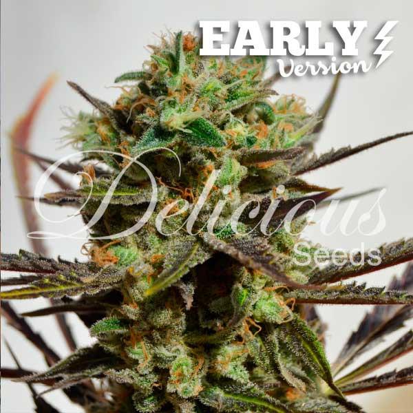 Semilla de Marihuana Delicious Candy Early Version del banco Delicious Seeds
