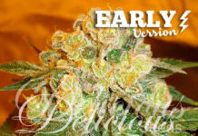 Semilla de Marihuana Marmalate Early Version del banco Delicious Seeds