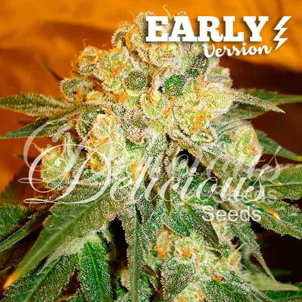 Semilla de Marihuana Marmalate Early Version del banco Delicious Seeds