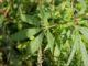 Reparar las Plantas de Marihuana de una Mala LST