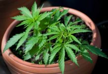 Ciclos de Luz para Nuestras Semillas de Marihuana Autoflorecientes