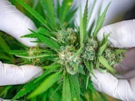Terpenos - Terpenoides el Futuro de la Marihuana Medicinal