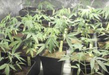 Cultivo de Semillas de Marihuana Autoflorecientes en Armarios de Cultivo
